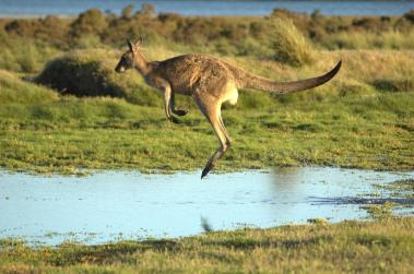Flying-kangaroo