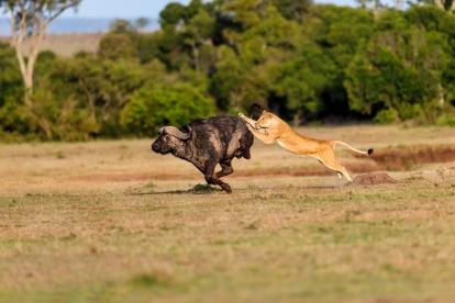 lion hunt